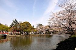 鎌倉桜花チェック2014鶴岡八幡宮源平池の桜