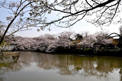 鎌倉桜花チェック2014鶴岡八幡宮の源平池の桜