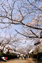 鎌倉桜花チェック2014鎌倉段葛の桜
