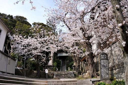 鎌倉桜花チェック2014長谷の甘縄神明宮の桜