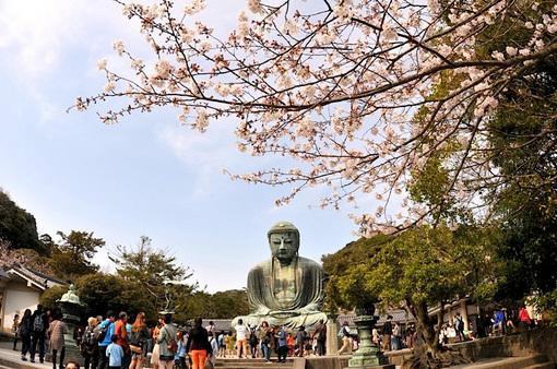 鎌倉桜花チェック2014長谷の高徳院大仏の桜