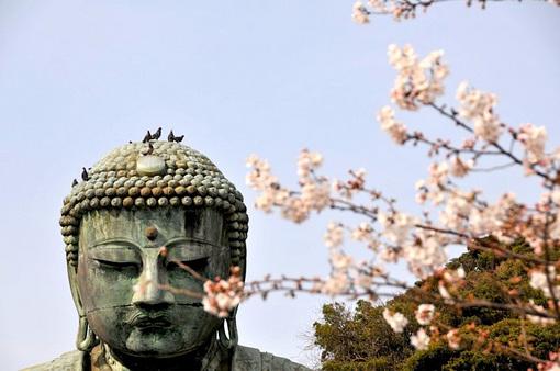 鎌倉桜花チェック2014長谷の高徳院大仏の桜とハト
