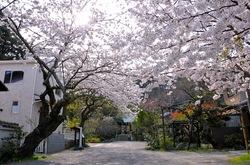 鎌倉桜花チェック2014長谷の光則寺の桜