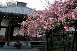 鎌倉桜花チェック2014長谷の光則寺のカイドウ