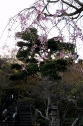 鎌倉桜花チェック2014長谷の長谷寺の枝垂れ桜