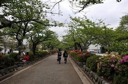 鎌倉段葛の葉桜とツツジ