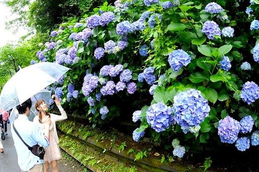 鎌倉紫陽花(あじさい)散策2014明月院への参道