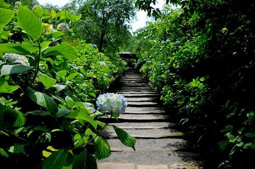 北鎌倉の明月院の紫陽花