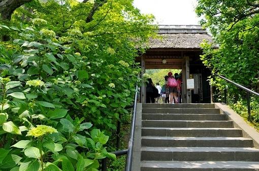 北鎌倉の東慶寺の紫陽花