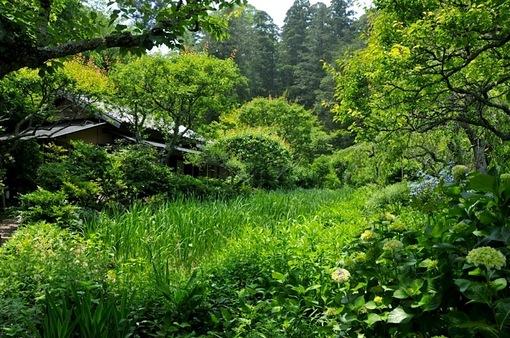 北鎌倉の東慶寺の菖蒲畑と紫陽花