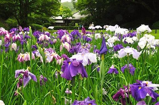 鎌倉紫陽花(あじさい)チェック2014北鎌倉明月院裏庭園のハナショウブ