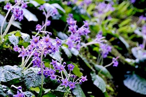 鎌倉紫陽花(あじさい)チェック2014北鎌倉東慶寺のイワタバコ