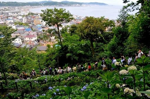 鎌倉紫陽花(あじさい)チェック2014長谷寺の眺望散策路と海