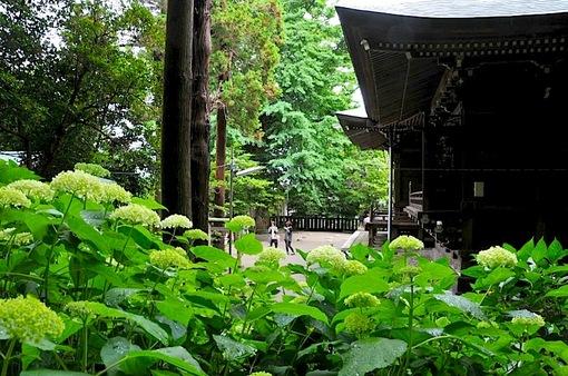 鎌倉紫陽花(あじさい)チェック2014極楽寺&長谷の御霊神社のアジサイ通路