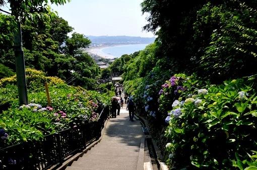 鎌倉紫陽花(あじさい)チェック2014極楽寺成就院のアジサイ