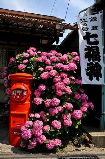 鎌倉紫陽花(あじさい)チェック2014極楽寺&長谷力餅家前のアジサイ