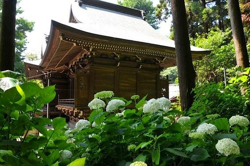 鎌倉紫陽花(あじさい)チェック2014御霊神社のアジサイ