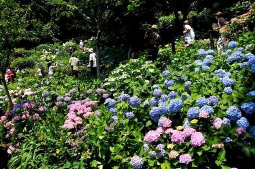 鎌倉紫陽花(あじさい)チェック2014長谷寺のアジサイ