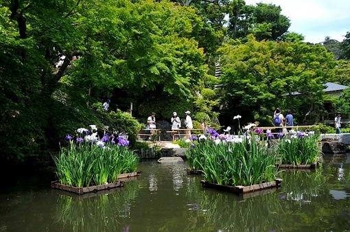 鎌倉紫陽花(あじさい)チェック2014長谷寺の花菖蒲