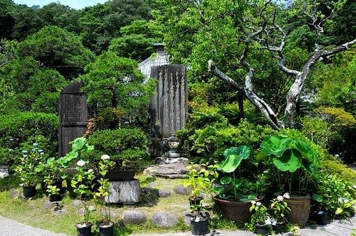 鎌倉紫陽花(あじさい)チェック2014長谷光則寺入口のアジサイ