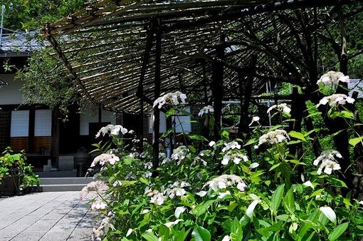 鎌倉紫陽花(あじさい)チェック2014長谷光則寺のアジサイ