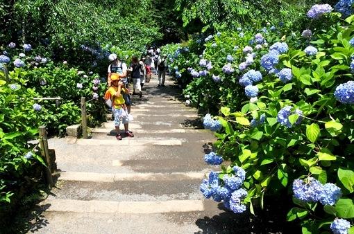 鎌倉紫陽花(あじさい)チェック2014北鎌倉のあじさい寺明月院