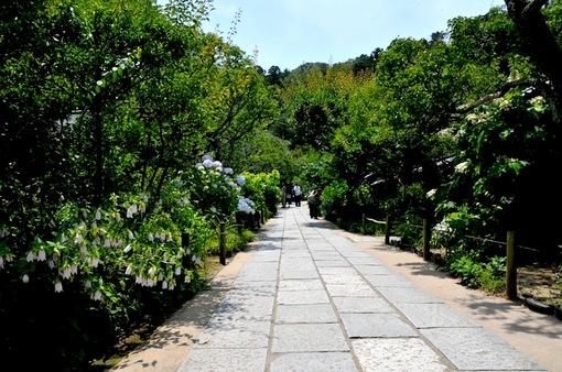 鎌倉紫陽花(あじさい)チェック2014北鎌倉の東慶寺
