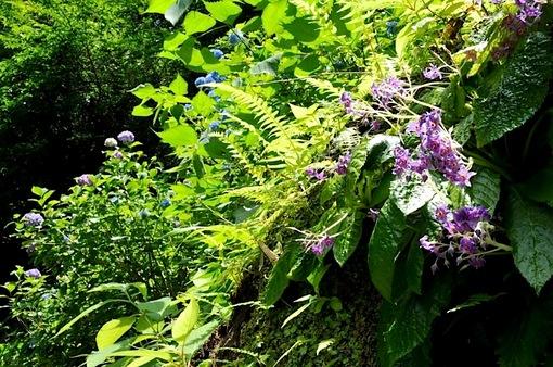 鎌倉紫陽花(あじさい)チェック2014北鎌倉の東慶寺のイワタバコ