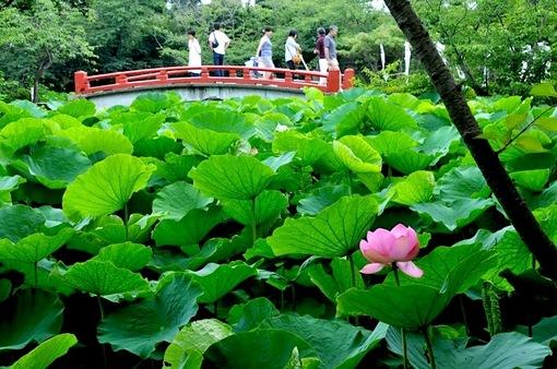 鎌倉鶴岡八幡宮の七夕祭り2014源平池の蓮の花