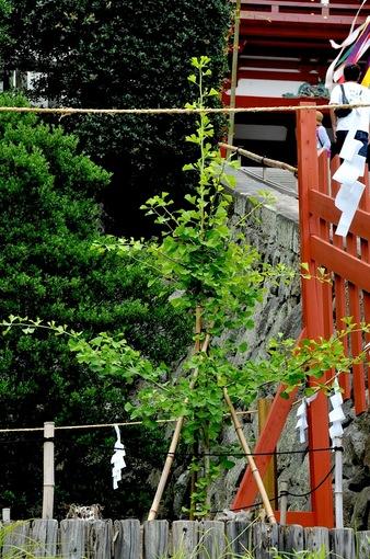 鎌倉鶴岡八幡宮の七夕飾りと大銀杏の若木
