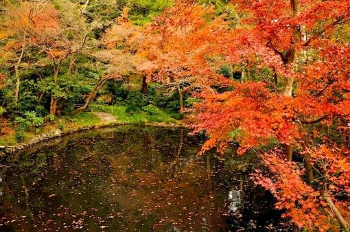 鎌倉紅葉チェック2014鶴岡八幡宮柳原神池の紅葉