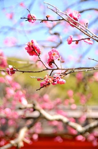 鎌倉梅花チェック2015【荏柄天神社】早咲きの紅梅が五分咲き