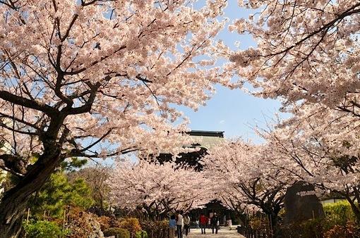 湘南・鎌倉桜花チェック2015:建長寺の桜