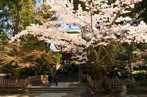 湘南・鎌倉桜花チェック2015:円覚寺の桜