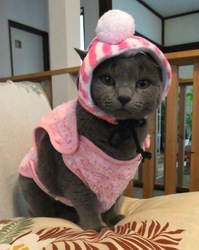 ロシアンブルーのネコの防寒ファッション