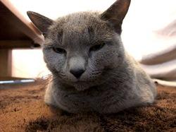 カーペットで寝るネコのロシアンブルーティナ