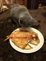 ロシアンブルーネコ/猫ティナに金目鯛
