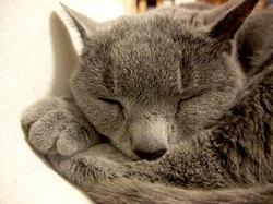 ソファの上で寝るロシアンブルーのネコ