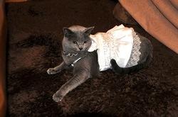 ウェディングドレスを着たネコのロシアンブルーティナ