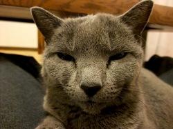 ロシアンブルーネコの猫耳