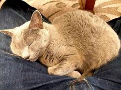 ヒゲが長いロシアンブルーのネコ/猫ティナ