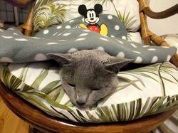 ロシアンブルー猫ティナとミッキーマウスの毛布