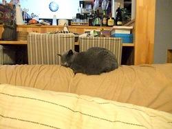 ソファでうたた寝中のロシアンブルーネコティナ