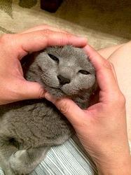 宇宙人グレイタイプのネコ/猫ロシアンブルーティナ