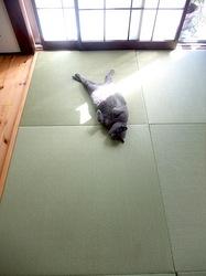 和室の畳の上で昼寝して寝返りのロシアンブルーネコティナ