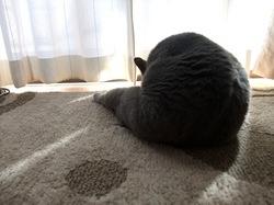 夏に昼寝中のネコ/猫ロシアンブルーティナ