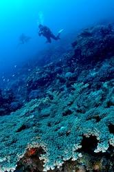 小笠原でダイビングとサンゴ