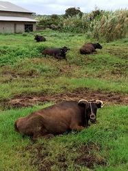 湘南藤沢から五島列島へ宇久島の牛