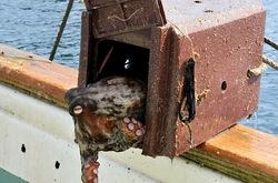 湘南藤沢から五島列島へ若松島の蛸壺漁のタコ